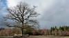 De Eenzame Eik - Boswachterij Amerongen. (Cajaflez) Tags: bomen eik oak deeenzameeik boswachterijamerongen banken benches