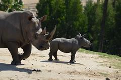 DSC_4600 (Andrew Nakamura) Tags: animal mammal rhino rhinoceros southernwhiterhino whiterhino whiterhinoceros rhinocalf mothercalf sandiegozoosafaripark safaripark escondido