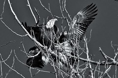 Family Portrait (petejam70) Tags: eagle birdsofprey beauty family naturewatcher nature awesome action blackandwhite vancouvercanada