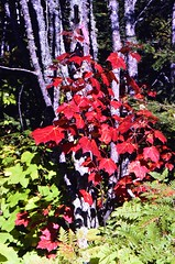 A Red Maple (Acer rubrum), Doing What It Does Best (Laurette Victoria) Tags: michigan peninsula autumn fallcolor upperpeninsula keweenawpeninsula redmaple