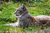 Luchs im Christianental von Wernigerode (Corno3) Tags: lynx harz luchs katze tier wernigerode sachsenanhalt deutschland de