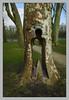 A travers tronc (afantelin) Tags: braysurseine seineetmarne iledefrance platane sculpture vide silhouette homme arbre parc seine