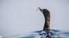 Fishing Cormorant!! (raveclix) Tags: raveclix india incredibleindia canon canon5dmarkiii canonef100400mmf4556lisiiusm keoladeonationalpark keoladeoghananationalpark bharatpurbirdsanctuary bharatpur rajasthan cormorant phalacrocoracidae