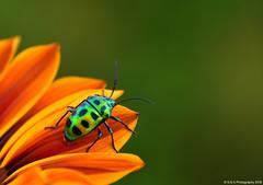 Scutiphora Pedicellata - Jewel Bug (Simranpreet Singh Gill) Tags: marco green bug insect flower petals
