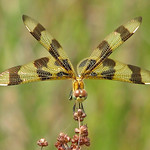 Halloween pennant - showing off her wings thumbnail