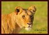 FEMALE LIONESS (Panthera leo)......MASAI MARA......SEPT 2017 (M Z Malik) Tags: nikon d3x 200400mm14afs kenya africa safari wildlife masaimara keekoroklodge exoticafricanwildlife exoticafricancats flickrbigcats lioness leo ngc npc