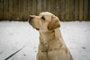 Obi - balancing snow (warner_pics) Tags: obi labrador yellowlabrador dog pet snow snowdog petprotrait dogportrait winter animal dogs