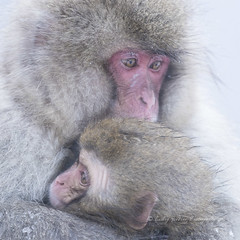 Tender Comfort (pixellesley) Tags: monkies macaque animal wild free tender cuddling warmth snow winter fur macacafuscata bokeh sdof sony lesleygooding japanesemacaque japan nagano hotspring steam woodland mountain
