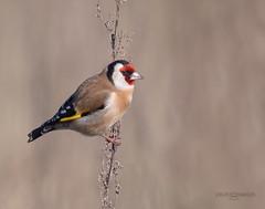 Goldfinch. (JurgenMaassen) Tags: goldfinch putter distelvink stieglitz lumix panasonic nature birds birding leicadg100400f4063 panasonicdcg9
