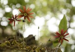 Bulbophyllum fimbriatum (11) (siddarth.machado) Tags: sakleshpurflorakarnatakaorchids bulbophyllum epiphite fimbriate endemic