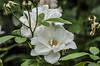 Ninfa : White Rock -Rosa bianca nei pressi della cattedrale di S.Maria Maggiore (sandromars) Tags: italia lazio latina ninfa whiterock whiterose