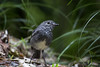 Zealandia ~ Toutouwai (whitebear100) Tags: toutouwai zealandia wellington nz newzealand northisland