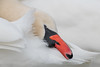 Swan (Joe Branco) Tags: branco joe ontario canada wildlifephotography joebrancophotography swan nikond850 nikon wildlife green