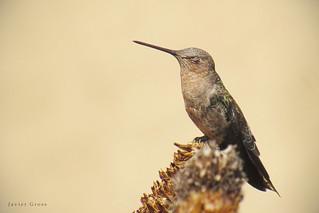 Picaflor gigante / Giant hummingbird / Patagona gigas
