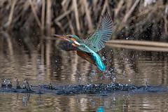 Eisvogel (Alcedo atthis) (Silu Junior) Tags: kingfisher eisvogel bird vogel nature natur wildlife animal nikon sigma
