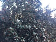 Mallotus philippensis_Hatgad Saptashrungi2 (Alka Khare) Tags: mallotus euphorbiaceae