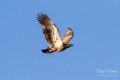 Juvenile Bald Eagle flying by with its catch