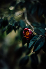 * (t*tomorrow) Tags: canon eos 5d2 50mm flower 椿