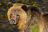 Grizzly Bear, Knight Inlet Lodge, British Columbia, Canada 2017 (Fothoner) Tags: lachs salmon kanada grizzlybear knightinletlodge britishcolumbia grizzly knightinlet bc