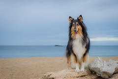 09/52 Leia & grey days (shila009) Tags: leia perro dog beach sand water sea landscape portrait roughcollie colours colores blue azul fauna nature natural clouds 52weeksfordogs 0952 winter invierno