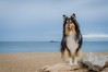 09/52 Leia & grey days (shila009) Tags: leia perro dog beach sand water sea landscape portrait roughcollie colours colores blue azul fauna nature natural clouds 52weeksfordogs 0952 winter invierno