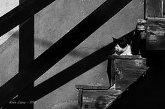 dormitando... (_DSC4481) (Rodo López) Tags: gato spain sentimientos sol sombra elbierzo españa explore excapture animalesdecompañia animalesenelbierzo nikon naturaleza nature naturebynikon naturalezacautivadora castillayleonesvida