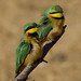 Kleine Bijeneter - Merops Pusillus / Somone SENEGAL