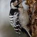 Lesser spottted woodpecker