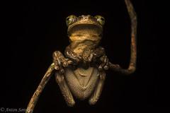 Osteocephalus Oracle (antonsrkn) Tags: treefrog frog amphibian osteocephalus taurinus colombia southamerica nikon nikkor d810 flash dark herpetology herping herp nature animal jungle amazon hylidae hylid manausslenderleggedtreefrog amazonas