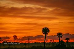 Pine and Palm Sunrise (tclaud2002) Tags: sun sunrise weather clouds trees palm pine silhouette sky nature mothernature landscape pineglades naturalarea pinegladesnaturalarea jupiter florida usa outdoors outside