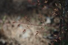 Nandina (bamboosage) Tags: meyer optik gorlitz oreston 1850 m42