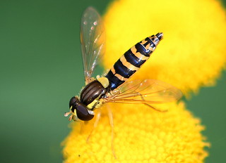 Taggsländfluga / Long Hoverfly (Sphaerophoria scripta) hona