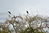 DSC_0527 (H Sinica) Tags: 贊比亞 zambia zimbabwe 津巴布韋 zambeziriver 贊比西河 maraboustork 非洲秃鹳 leptoptiloscrumenife 鸛鸛 griffonvulture 禿鷲 rüppellsvulture gypsrueppelli 黑白兀鹫