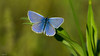 Argus bleu 007 (Hturina) Tags: argusbleu miribeljonage papillon miribel rhônealpes france fr