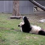 Panda Mei and Tian thumbnail