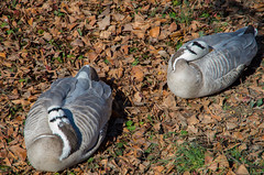 2018-03-04 Sunday Morning at the St. Louis Zoo - 38 (kocojim) Tags: kocojim missouri forestpark birds zoo family mo ducks stlouis unitedstates us