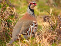 1S9A8050 (saundersfay) Tags: pheasant elmley hares kestrel