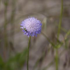 Scabiosa (JLM62380) Tags: scabiosa scabieuse fleur macro flower insect bug oedemera nobilis femal oedemeranobilis female