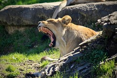 Yawning Lioness (Dro-San) Tags: memphis zoo lion lioness yawn yawning jaws fangs sun rocks grass