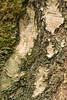 Tree bark - 20180309_1 (Graham Dash) Tags: virginiawater windsorgreatpark bark treebark trees