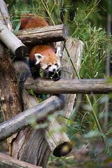 Red panda (Cloudtail the Snow Leopard) Tags: ailurus animal bär bärenkatze eat eating feuerfuchs firefox fulgens goldhund katzenbär kleinbär kleiner mammal panda red roter säugetier tier zoo mulhouse