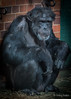 Biding Time (JKmedia) Tags: chester zoo chesire chimp chimpanzee primate monkey ape hand expression animal 2018 boultonphotography portrait face texture