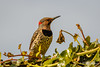 Northern Flicker (Yellow-shafted) (Bob Gunderson) Tags: birds california colaptesauratus fortmason northerncalifornia northernflicker sanfrancisco woodpeckers
