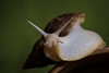 Giant African Land Snail (ToriAndrewsPhotography) Tags: giant african land snail eyes photography andrews tori green bokeh