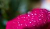 rain drops on red petal (Danyel B. Photography) Tags: rain drops red petal flower blossom plant nature natur blüte blatt macro makro regen