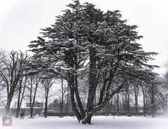 Winter tree 2 (picsbyCaroline) Tags: tree winter snow cold scotland landscape bright white trees walk park grass