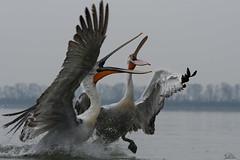 Let's start ...... (Claudia Brockmann) Tags: natur nature wasser water see sea animal animals pelikan pelikane pelican dalmatianpelican krauskopfpelikan tiere tier wildlife wildanimal outdoor kerkinisee griechenland greece