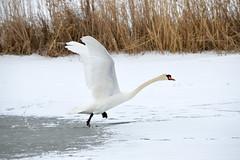 Felszállás (vegeta25) Tags: swan snow myfuji balaton bird aquaticbird nature mothernatureatherbest mothernature