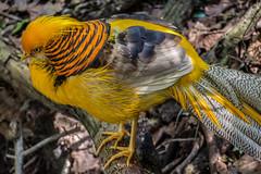 Yellow Golden Pheasant 1, Birds of Eden, Plettenberg Bay (Peter Cook UK) Tags: garden route eden chrysolophus pictus south golden bay birds tour plettenberg yellow africa pheasant