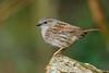 Dunnock (Susanne Leyh) Tags: bird dunnock heckenbraunelle animal tier vogel nature natur wildlife britishwildlife fauna outside outdoors nikon